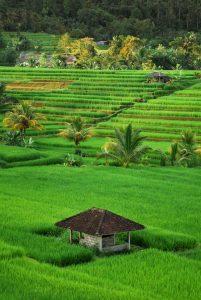 Pirinčana polja